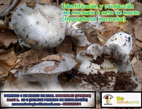 Identificación y recolección del marzuelo